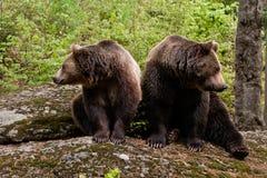 Dois ursos Fotografia de Stock Royalty Free