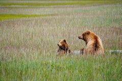 Dois ursos de Brown em um log foto de stock