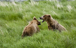 Dois ursos de Brown que esquadram fora Fotografia de Stock Royalty Free