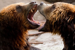 Dois ursos de Brown que jogam ou que lutam Fotografia de Stock
