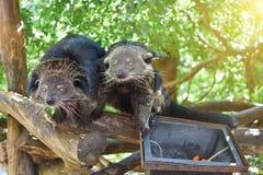 Dois ursos estão procurando alimentos fotografia de stock