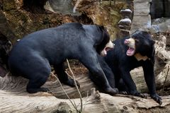 Dois ursos malayan na habitat-luta da natureza Fotografia de Stock