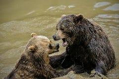 Dois ursos marrons adultos, arctos do Ursus, sujando ao redor na água enlameada imagens de stock