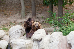 Dois ursos marrons grandes Fotografia de Stock Royalty Free