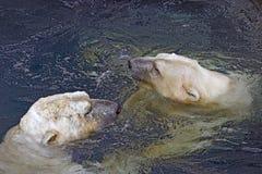 Dois ursos polares nadadores Imagem de Stock Royalty Free
