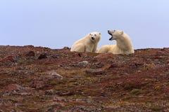 Dois ursos polares no monte rochoso Imagens de Stock