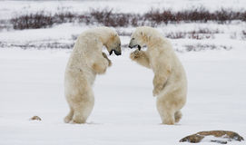 Dois ursos polares que jogam um com o otro na tundra canadá Imagens de Stock