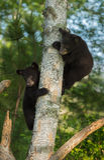 Dois ursos pretos novos (Ursus americano) escondem na árvore Imagens de Stock