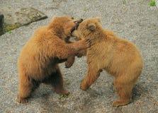 Dois ursos que jogam e que mordem-se Imagens de Stock