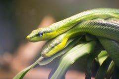 Dois Vermelho-ataram Ratsnakes verde Foto de Stock Royalty Free