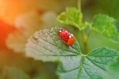 Dois vermelhos e os joaninhas alaranjados est?o acoplando-se em uma folha do arbusto de corinto, um deles s?o sem pontos fotografia de stock royalty free