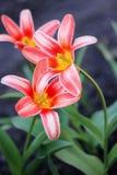 Dois vermelhos e tulipas brancas Imagens de Stock Royalty Free