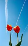 Dois vermelhos e tulips amarelos no beckground do céu Imagens de Stock Royalty Free