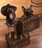 Dois viajantes do cão com casees Imagem de Stock Royalty Free