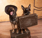 Dois viajantes do cão com caso Imagem de Stock Royalty Free
