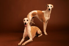 Dois Whippets Fotos de Stock Royalty Free
