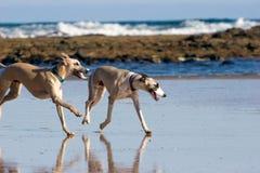Dois Whippets que funciona na praia foto de stock royalty free