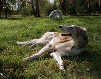 Dois Wolfhounds do russo fotografia de stock