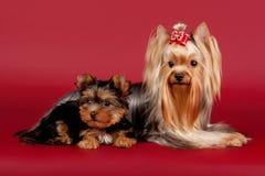 Dois yorkies Imagem de Stock Royalty Free