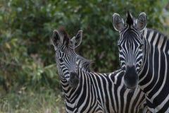Dois zebra, Equus que olha a câmera fotografia de stock