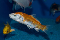 Gold and White Doitsu Japanese Koi. The Doitsu High Quality Koi, Japan Strain is a beautiful koi with contrasting scale patterns. A distinct arrangement of large Stock Images