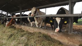 Dojna krowa na nabiału gospodarstwie rolnym Żywieniowe krowy Czarny i biały krowy zdjęcie wideo