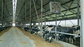 Dojne krowy karmi w nowożytnej stajni Dojnych krów karmić Nabiału przemysł zdjęcie wideo