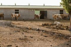 Dojne krowy Na zewnątrz Ich stajni fotografia stock