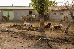 Dojne krowy Na zewnątrz Ich stajni zdjęcie royalty free