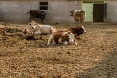 Dojne krowy Na zewnątrz Ich stajni Zdjęcia Royalty Free