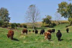 Dojne krowy w paśniku Obraz Stock