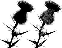 Dojnego osetu osetu kwiaty Zdjęcie Royalty Free
