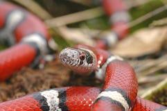 dojnego portreta czerwony wąż Fotografia Stock