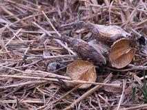 Dojni świrzepa strąki Fotografia Royalty Free