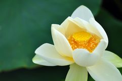 Dojny biały lotosowy kwiat z pięknymi żółtymi stamens, słupkowie a Zdjęcie Royalty Free