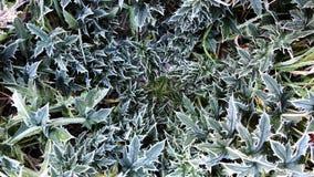 Dojnych osetów cardus marianus obrazy stock