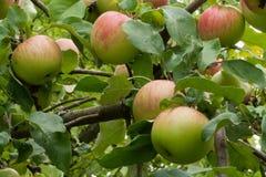 Dojrzałe jabłczane owoc na drzewie w ogródzie obrazy stock
