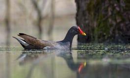 Dojrzały Pospolity Moorhen dopłynięcie na czystej wody powierzchni drewniany jezioro obraz stock