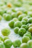 Dojrzała Świeża Agrestowa jagoda, Ribes Uva-Crispa Lub Ribes Grossularia, Fotografia Stock