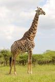 Dojrzała żyrafa Zdjęcie Royalty Free