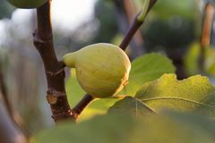 Dojrzała Adriatycka figa na drzewie fotografia royalty free