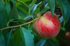 Dojrzała brzoskwinia na gałąź w brzoskwinia sadzie Fotografia Stock