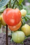 Dojrzała czerwień i niedojrzali zieleni pomidory r na krzaku w ogródzie Zdjęcia Stock
