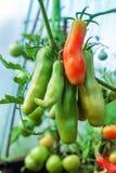 Dojrzała czerwień i niedojrzali zieleni pomidory r na krzaku w ogródzie Pomidory w szklarni z zielenią i czerwienią Zdjęcie Royalty Free