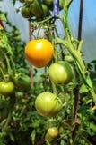 Dojrzała czerwień i niedojrzali zieleni pomidory r na krzaku w ogródzie Pomidory w szklarni z zielenią i czerwienią Fotografia Royalty Free