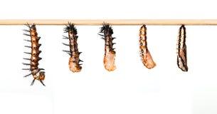 Dojrzała gąsienicowa transformata kokon Tawny Coster motyl obrazy stock