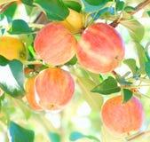 dojrzała jabłko czerwień Zdjęcie Royalty Free