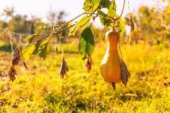 Dojrzała jesieni bania w nieociosanym jarzynowym ogródzie Pogodny jesień wieczór w wiosce fotografia stock