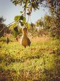 Dojrzała jesieni bania w nieociosanym jarzynowym ogródzie Pogodny jesień wieczór w wiosce zdjęcia stock