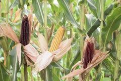 Dojrzała kukurudza - część roślina Zdjęcia Royalty Free